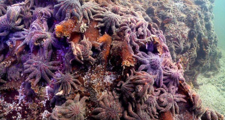 maladie etoiles mer