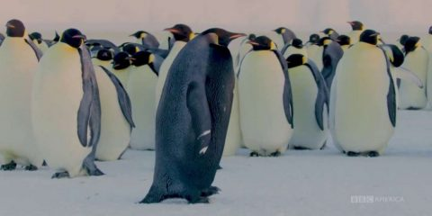 manchot empereur pingouin antarctique