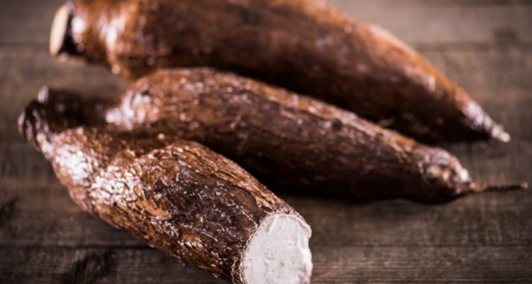 manioc genetiquement modifie ogm