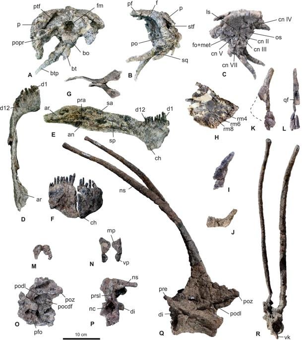 os squelettes bajadasaurus