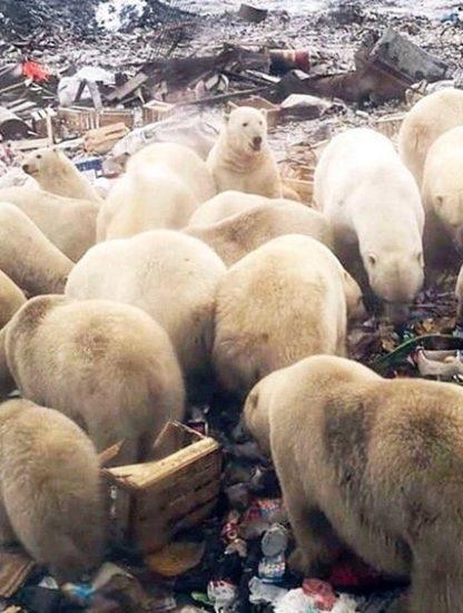 ours polaire fonte glace rechauffement changement climatique climat population homme terre dechets probleme russie insulaire ile