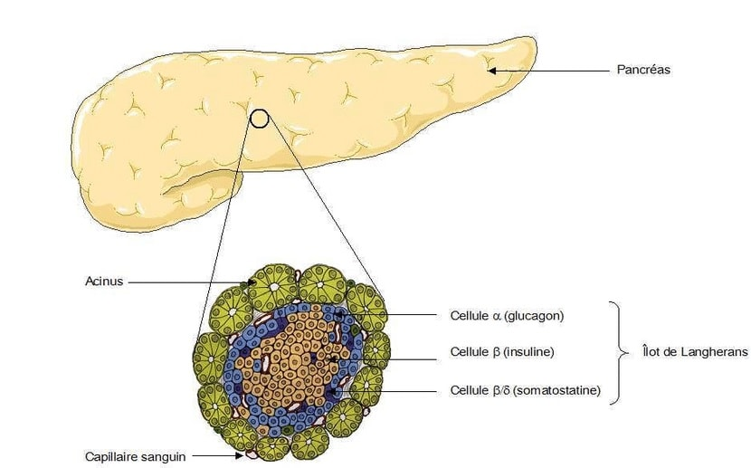 pancreas ilot langherans