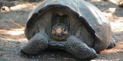 tortue geante ile fernandina galapagos