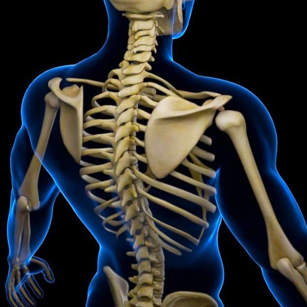 cellule souche squelette cartilage