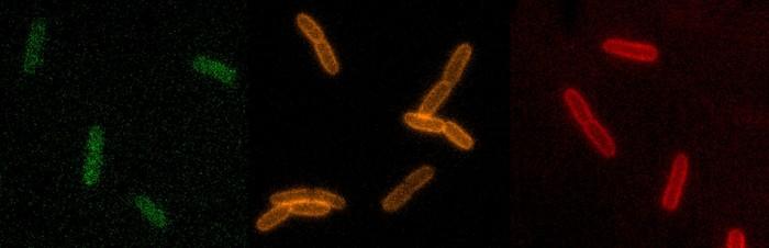 cellules bacteries antibiotiques