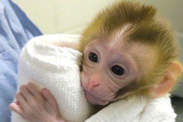 grady primate ne greffe tissu sperme