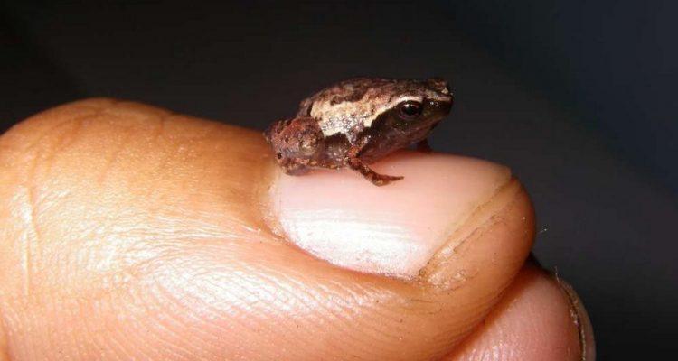 grenouille mini scule mum
