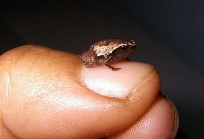 grenouille mini scule