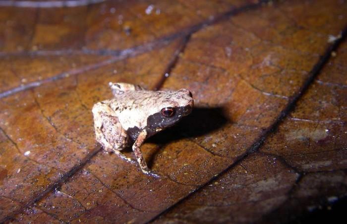 grenouille mini scule mum madagascar