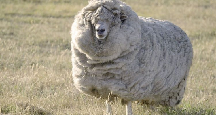 laine mouton boucles