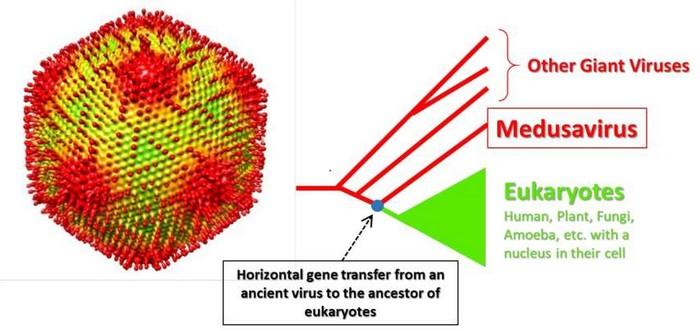 medusa medusavirus virus geant
