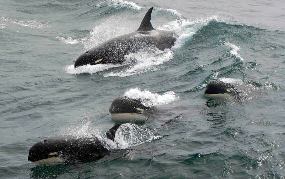 orques epaulards type d espece mammifere marin