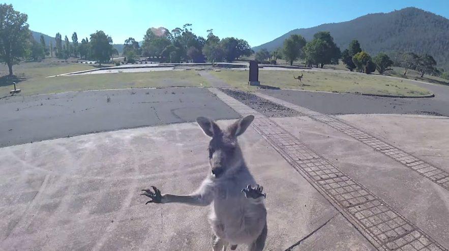 parapentiste attaque par kangourou