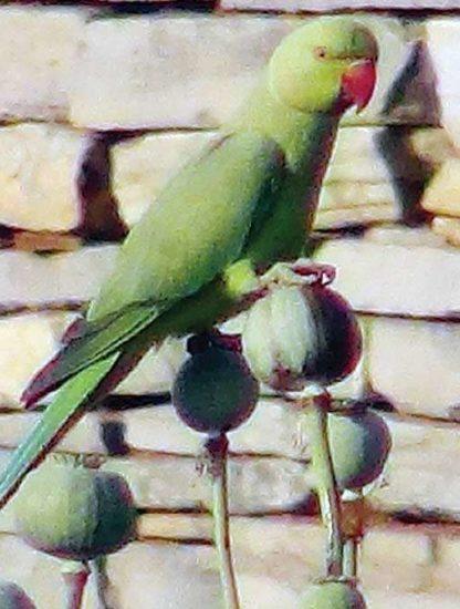 perroquet pavot opium