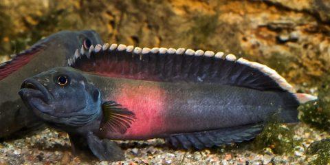 Poisson afrique rapides espece nouvelle