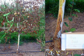 pommier pomme arbre fruit mort necrose
