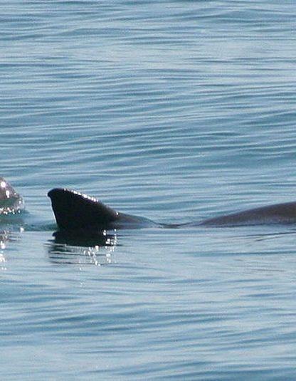 vaquita marsouin extinction