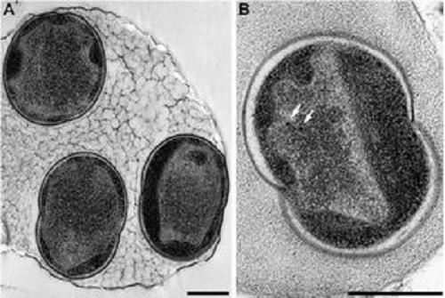 alcanivorax bacterie hydrocarbures