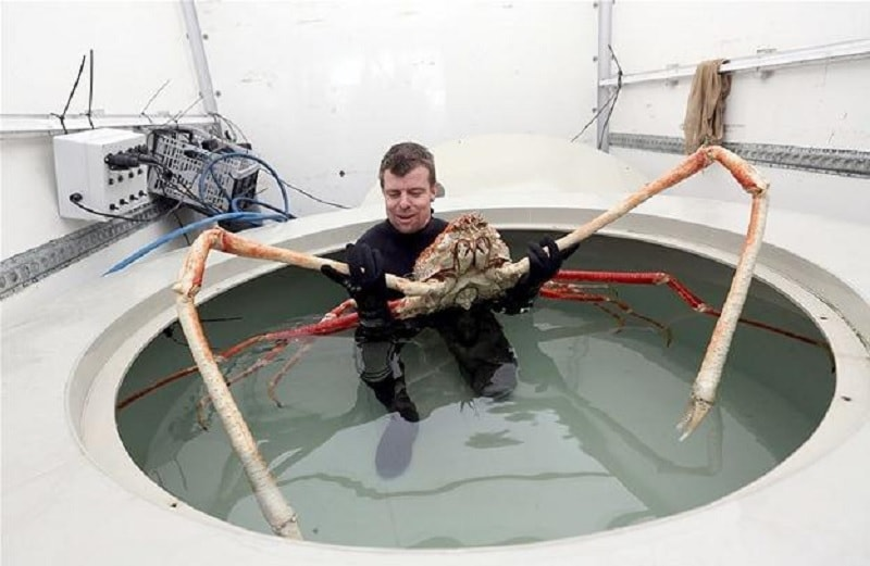 araignee crabe geante