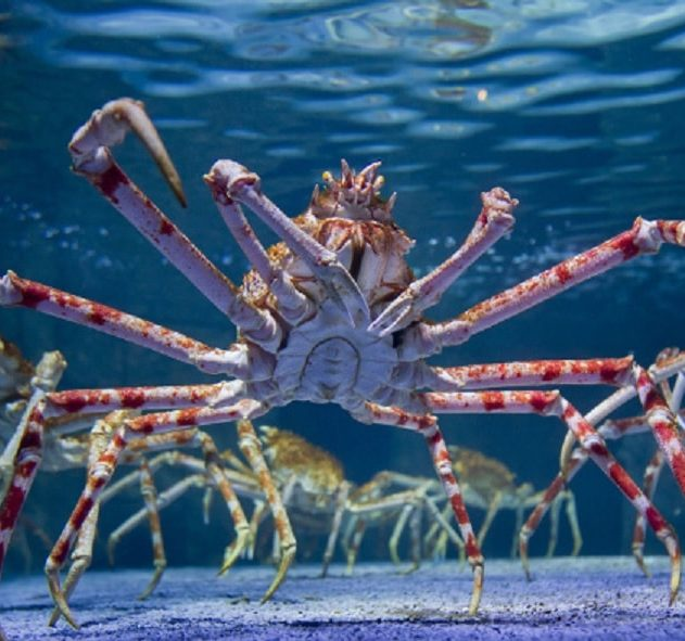 araignee crabe gigantisme abyssal