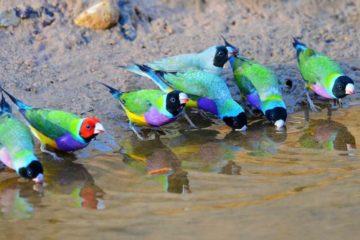 diamant gould oiseau tete coloration differente