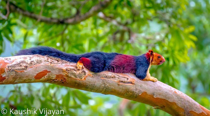ecureuil geant indien couleurs vives