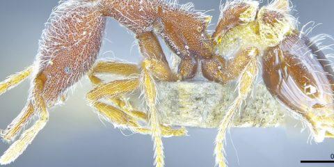 fourmi nouvelle espece decouvert