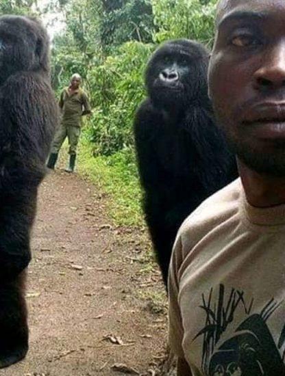 gorilles bipedes gardien humain