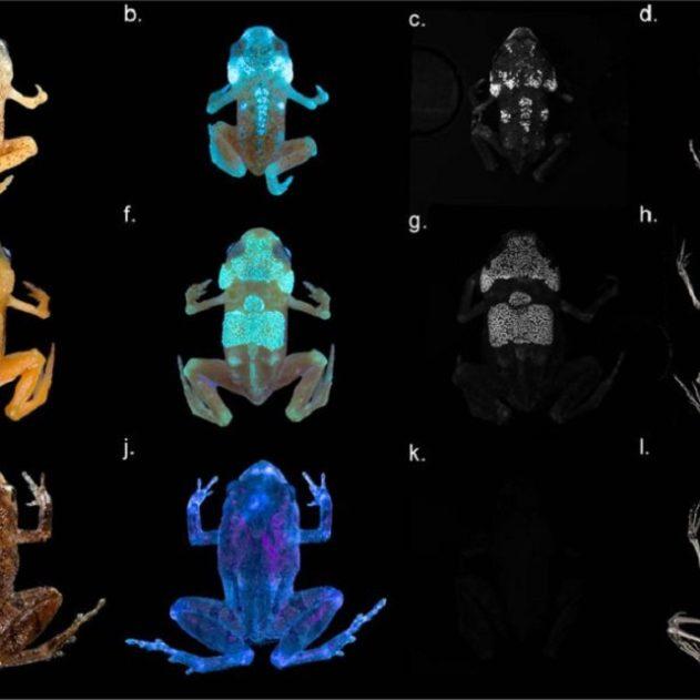 grenouille os squelette fluorescent uv