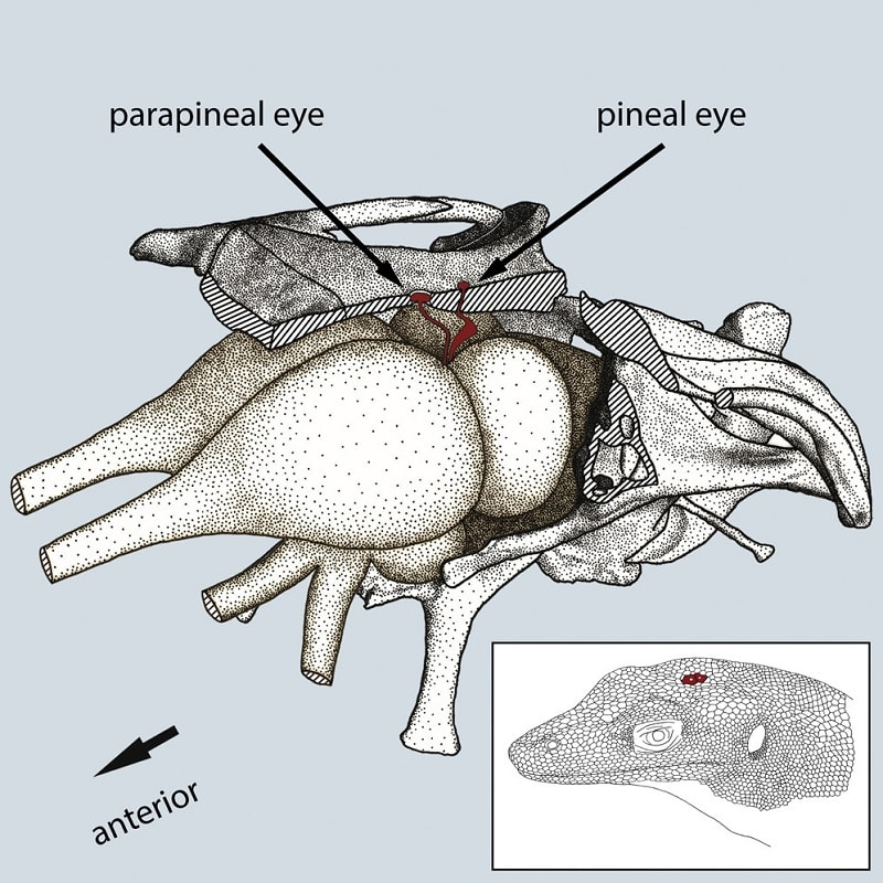 lezard pineal parapineal