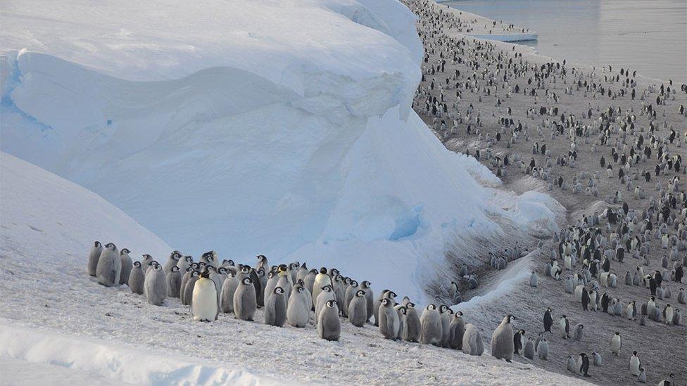 manchot empereur fonte glace rechauffement climatique