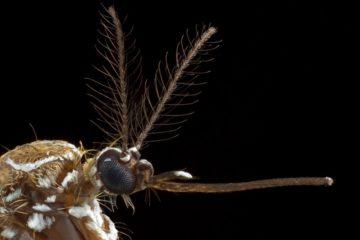 moustique femelle