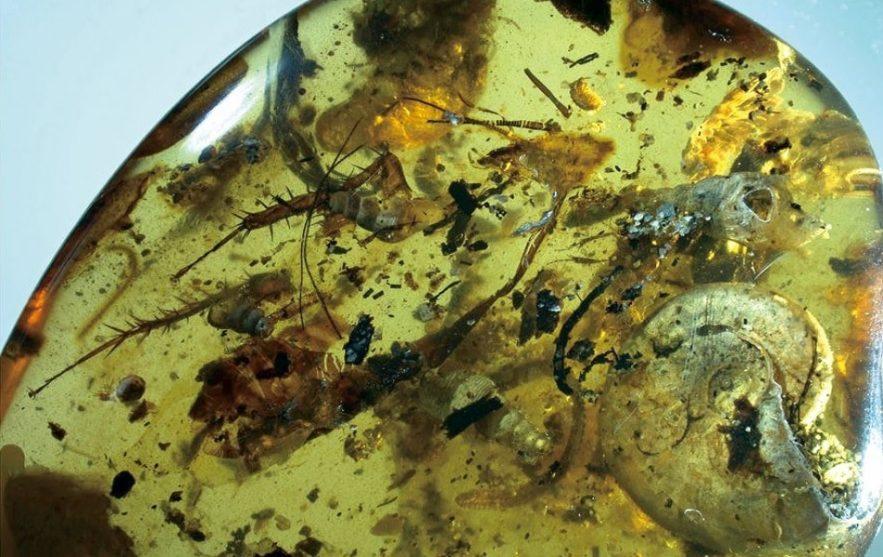 ammonite animaux ambre