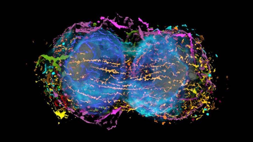 cellule souche mitose 3D
