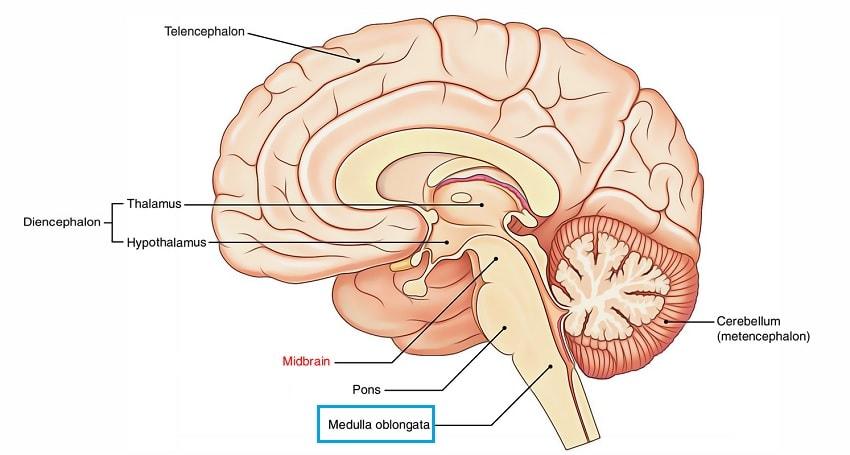 cerveau moelle allongee