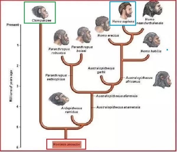evolution humains chimpanzes