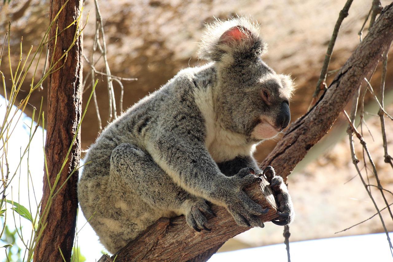 koala foret disparition