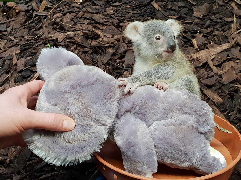 koala zoo