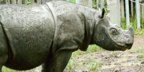 rhinoceros sumatra tam