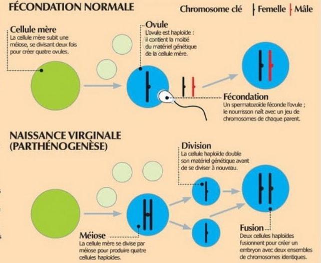 schema parthenogense