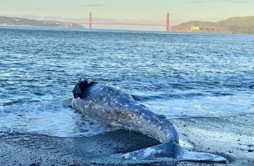 baleine grise echouee californie