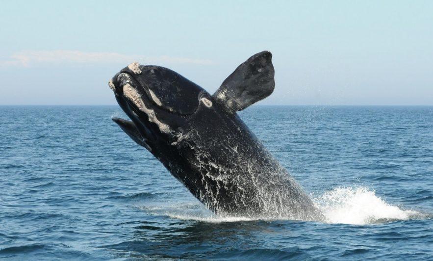 chant baleine franche