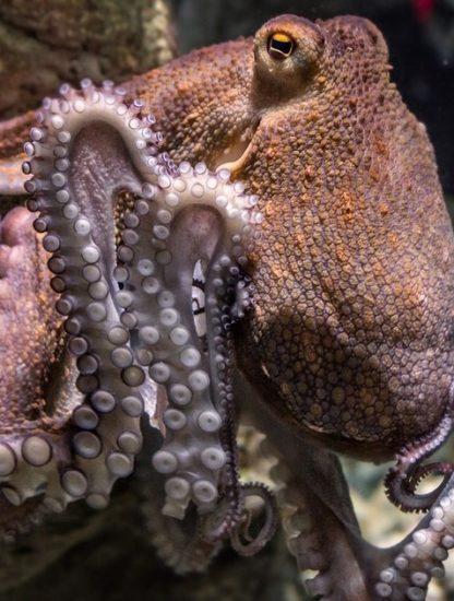 pieuvre