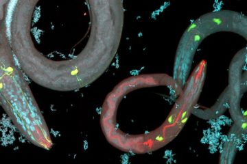 nematode neurones genetique