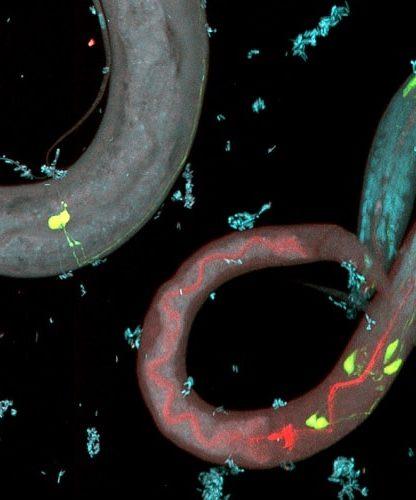 nematode neurones genetique