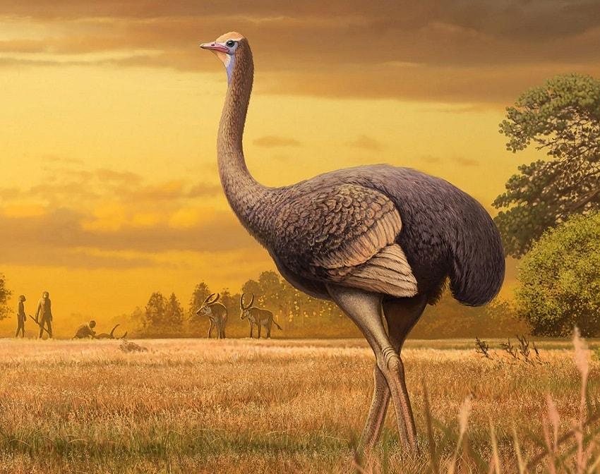 Un oiseau géant de 3.7 mètres de haut a vécu en Europe aux côtés de l'Homme, durant le Pléistocène ! By Thomas Boisson Oiseau-geant