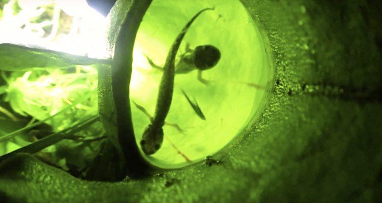 salamandre mangee par plante carnivore