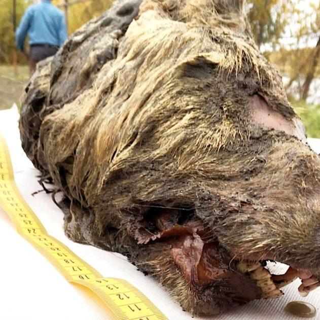 tete loup coupee vieux 40000 ans decouverte siberie