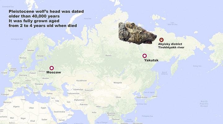 tete loup coupee vieux 40000 ans decouverte siberie carte