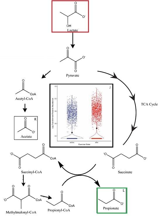 voie lactate propionate
